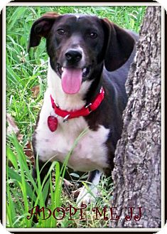 Basset Hound/Fox Terrier (Smooth) Mix Dog for adoption in Starkville, Mississippi - JJ