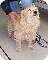 Terrier (Unknown Type, Small) Mix Dog for adoption in Silver City, New Mexico - Alf
