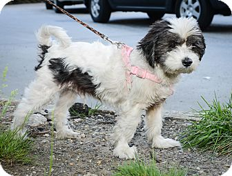 Shih Tzu Mix Dog for adoption in New York, New York - Edgar