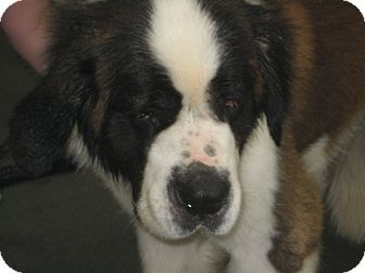 St. Bernard Dog for adoption in Sudbury, Massachusetts - BRUISER - ADOPTION PENDING