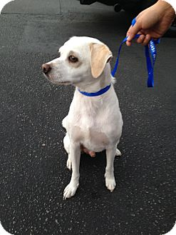 Beagle/Terrier (Unknown Type, Medium) Mix Dog for adoption in Los Angeles, California - Franco