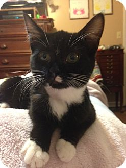 Domestic Shorthair Kitten for adoption in Nashville, Tennessee - Lilly