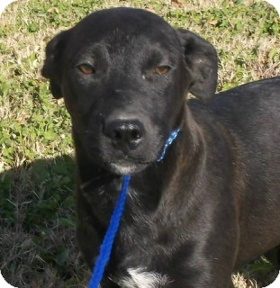 Labrador Retriever Mix Puppy for adoption in Olive Branch, Mississippi - Jake