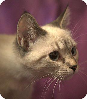 Siamese Cat for adoption in Portland, Maine - Rain (SC)