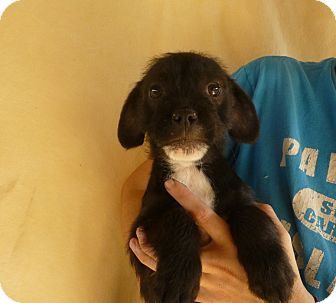 Brussels Griffon Mix Puppy for adoption in Oviedo, Florida - Kit
