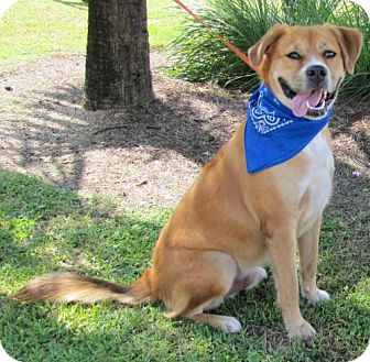 Golden Retriever/Boxer Mix Dog for adoption in Port St. Joe, Florida - Ranger