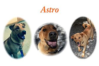 Labrador Retriever/Hound (Unknown Type) Mix Dog for adoption in Deer Park, New York - Astro