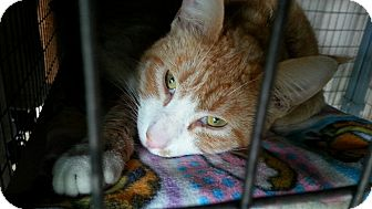 Domestic Shorthair Cat for adoption in Seattle, Washington - Edwin