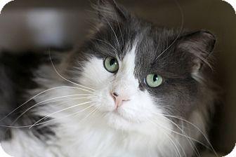 Domestic Longhair Cat for adoption in Chicago, Illinois - Idris