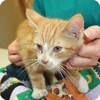 Domestic Shorthair Kitten for adoption in Cottageville, West Virginia - VooDoo