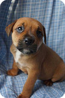 Boxer/Australian Shepherd Mix Puppy for adoption in Newark, Delaware - Dakota
