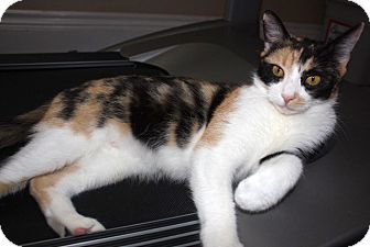 Domestic Shorthair Cat for adoption in Oakville, Ontario - Willow