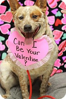 Australian Cattle Dog Mix Dog for adoption in Twin Falls, Idaho - Hank