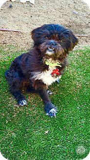 Shih Tzu/Pug Mix Dog for adoption in El Segundo, California - Gracie