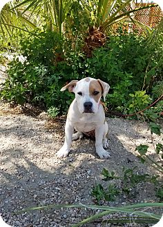 American Bulldog Puppy for adoption in Sherman Oaks, California - Peaches