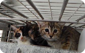 Domestic Shorthair Kitten for adoption in Henderson, North Carolina - Kan Kan