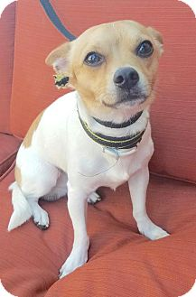 Chihuahua Mix Dog for adoption in Linden, New Jersey - King