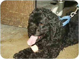 Cocker Spaniel Dog for adoption in Mason City, Iowa - Nitro