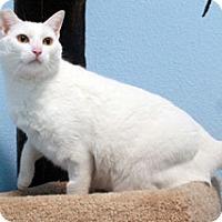 Domestic Shorthair Cat for adoption in Jamestown, California - Ivan