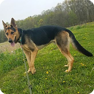 German Shepherd Dog Dog for adoption in New Ringgold, Pennsylvania - Charlie