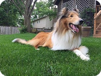 Collie Dog for adoption in Chantilly, Virginia - Prince