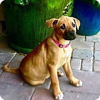 Adopt A Pet :: Chestnut - Gilbert, AZ