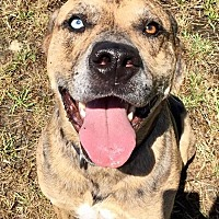 Catahoula Leopard Dog Mix Dog for adoption in Grants Pass, Oregon - Roscoe