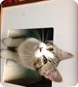 Domestic Shorthair Kitten for adoption in Milton, Massachusetts - Yankee Doodle