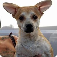 Adopt A Pet :: Marcus - Las Vegas, NV