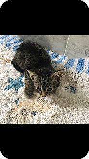 Domestic Shorthair Kitten for adoption in Staten Island, New York - Laila