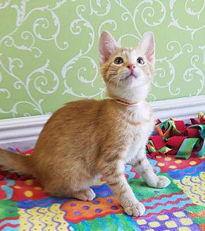 Domestic Shorthair Kitten for adoption in Red Wing, Minnesota - Melferd