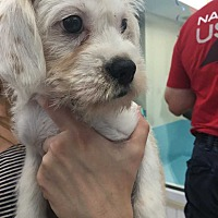 Terrier (Unknown Type, Small) Mix Puppy for adoption in Manhattan, New York - Charlie