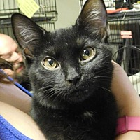 Adopt A Pet :: Midnight - Winston-Salem, NC