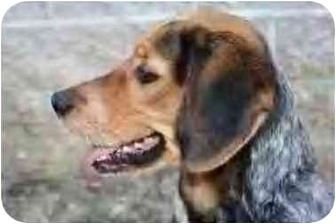 Australian Cattle Dog/Beagle Mix Dog for adoption in Saint Charles, Missouri - Aussie