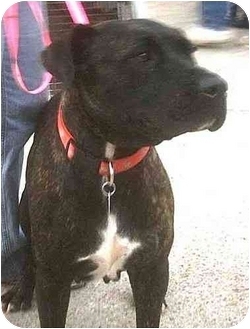 Staffordshire Bull Terrier Mix Dog for adoption in Forest Hills, New York - Levee