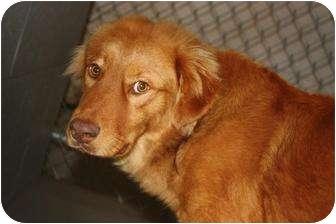 Golden Retriever Mix Dog for adoption in New Boston, New Hampshire - Reno