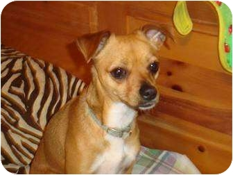 Chihuahua/Terrier (Unknown Type, Small) Mix Dog for adoption in San Diego, California - Winnie