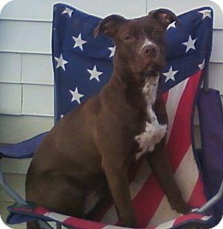 American Pit Bull Terrier Dog for adoption in Toledo, Ohio - Tekeela Rose