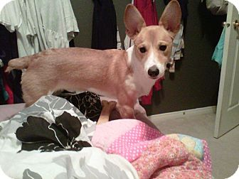 Corgi/Terrier (Unknown Type, Small) Mix Dog for adoption in Toronto/Etobicoke/GTA, Ontario - Ollie