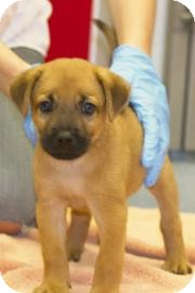 Shepherd (Unknown Type)/Chow Chow Mix Puppy for adoption in Gainesville, Florida - Patrick