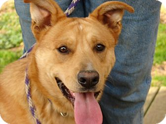 German Shepherd Dog/Boxer Mix Dog for adoption in Providence, Rhode Island - Baxter