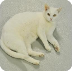 Domestic Shorthair Cat for adoption in Muskegon, Michigan - Angel