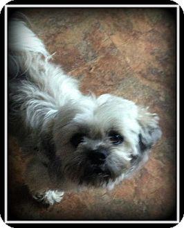 Shih Tzu/Lhasa Apso Mix Dog for adoption in Indian Trail, North Carolina - Amos