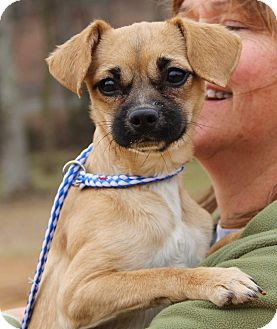 Pug/Chihuahua Mix Dog for adoption in Pewaukee, Wisconsin - Peaches