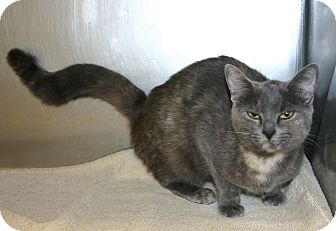 Domestic Shorthair Cat for adoption in Pinehurst, North Carolina - Broken Tail