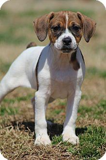 Cavalier King Charles Spaniel/Terrier (Unknown Type, Medium) Mix Puppy for adoption in Hamburg, Pennsylvania - Emma Jean
