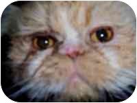 Persian Cat for adoption in tucson, Arizona - Payson