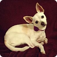Adopt A Pet :: Chloe - Seattle, WA