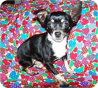 Chihuahua Mix Dog for adoption in Old Fort, North Carolina - Ruger