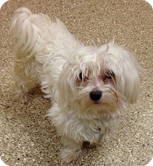 Maltese Dog for adoption in Fairview Heights, Illinois - Howie and Waldo